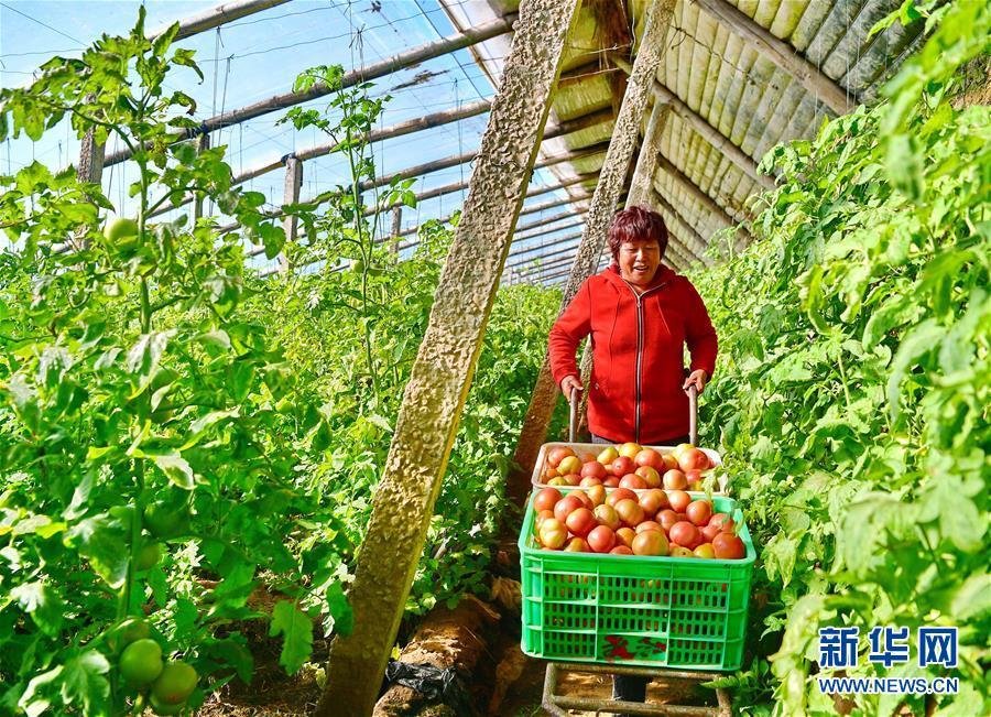(经济)(1)蔬菜种植规模化发展助增收