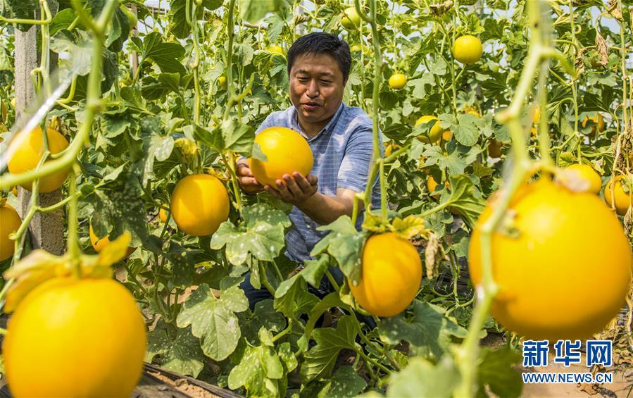 (經濟)(1)河北棗強:香瓜香溢脫貧路