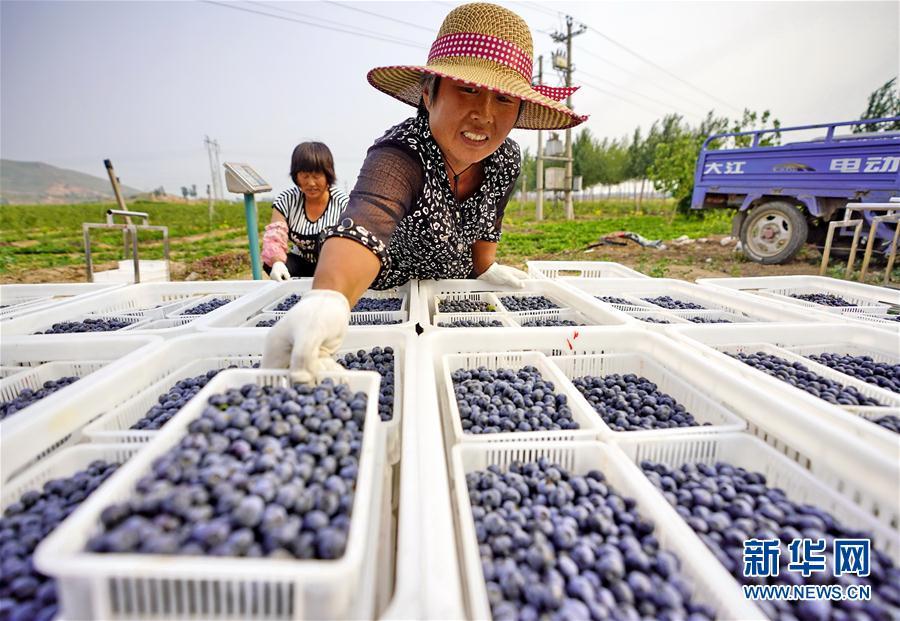 (經濟)(1)河北灤縣:藍莓迎來收獲季
