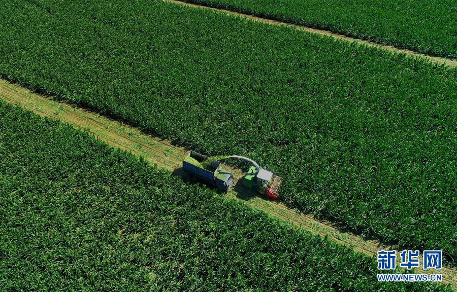 (經濟)(1)灤南縣農民收獲青貯玉米