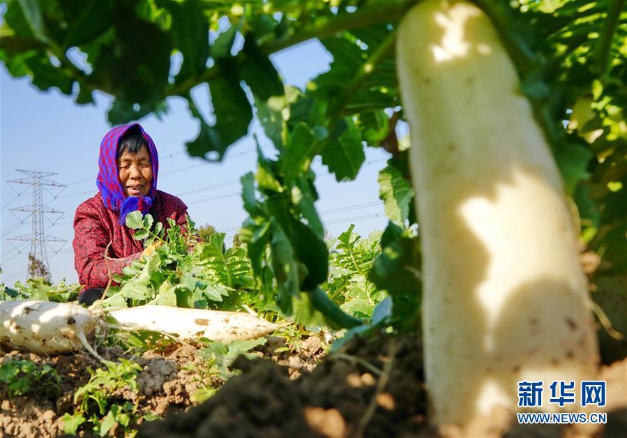 (經濟)(1)河北黃驊:白蘿卜種植促增收