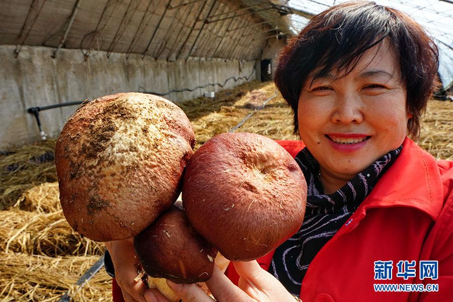 秦皇岛:人工培育赤松茸开辟农民增收新路径
