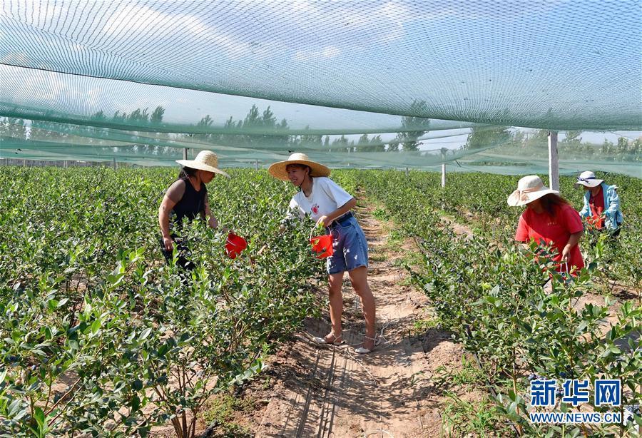 (社会)(1)河北滦州:蓝莓飘香富农家