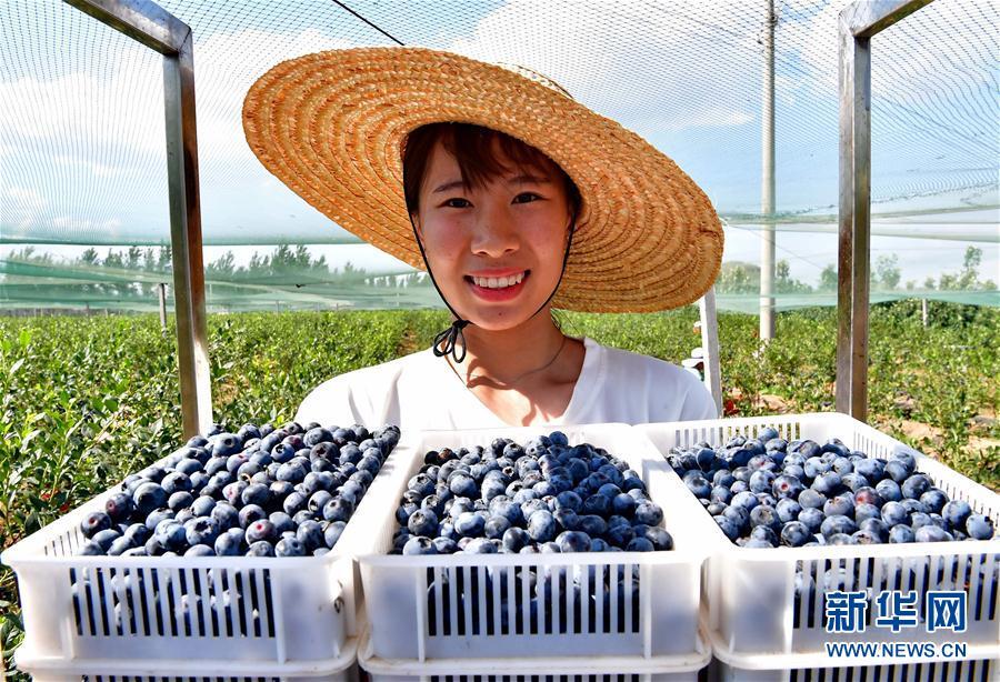 (社会)(2)河北滦州:蓝莓飘香富农家