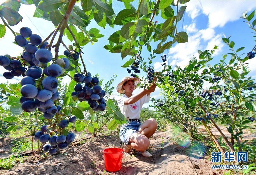 (社会)(3)河北滦州:蓝莓飘香富农家