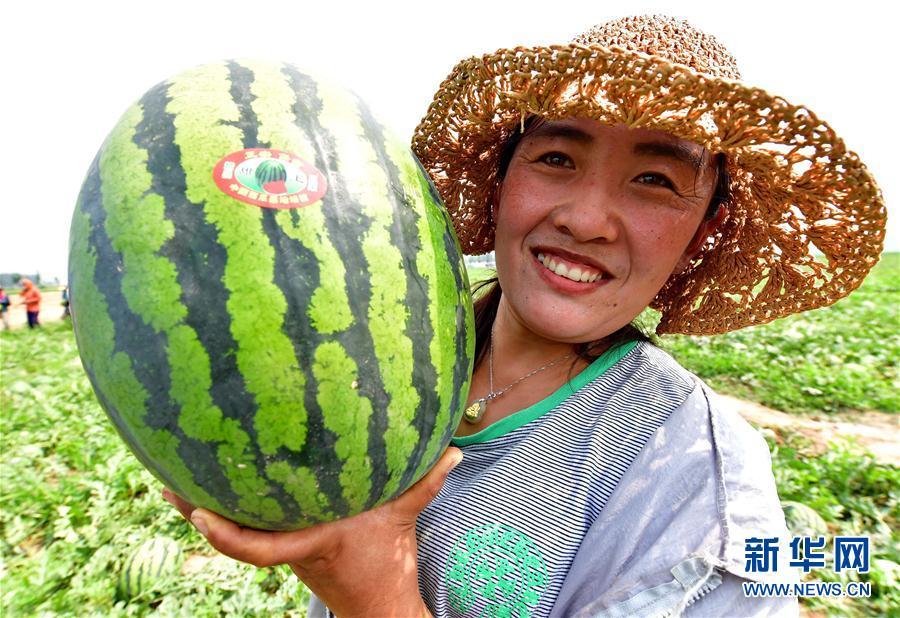 """(经济)(2)河北滦南:万亩西瓜""""甜农心"""""""