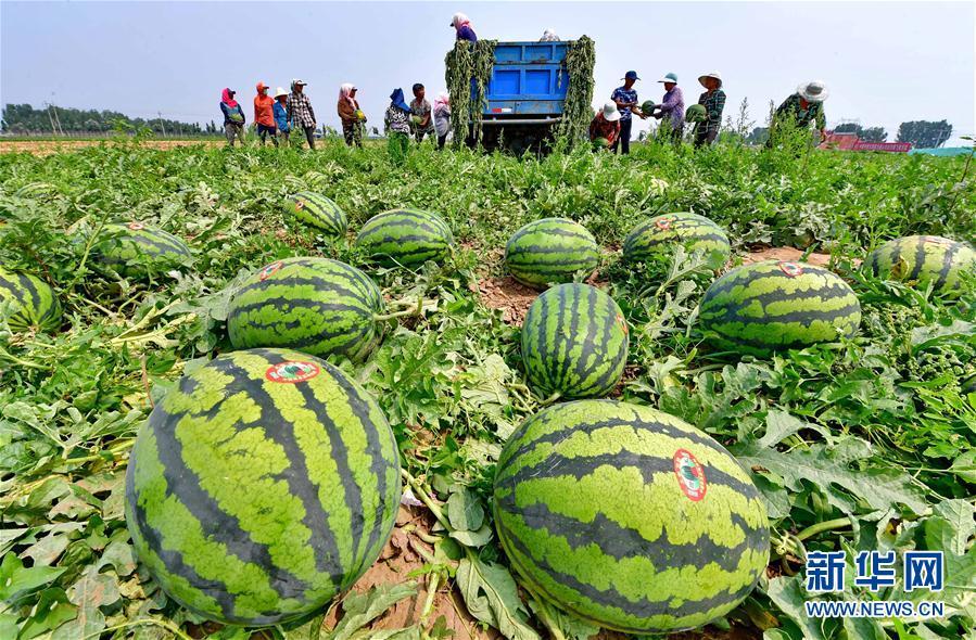 """(经济)(3)河北滦南:万亩西瓜""""甜农心"""""""