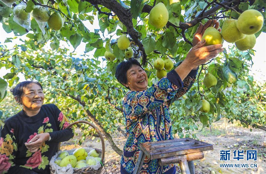 (经济)(2)河北永清:鸭梨飘香助农增收
