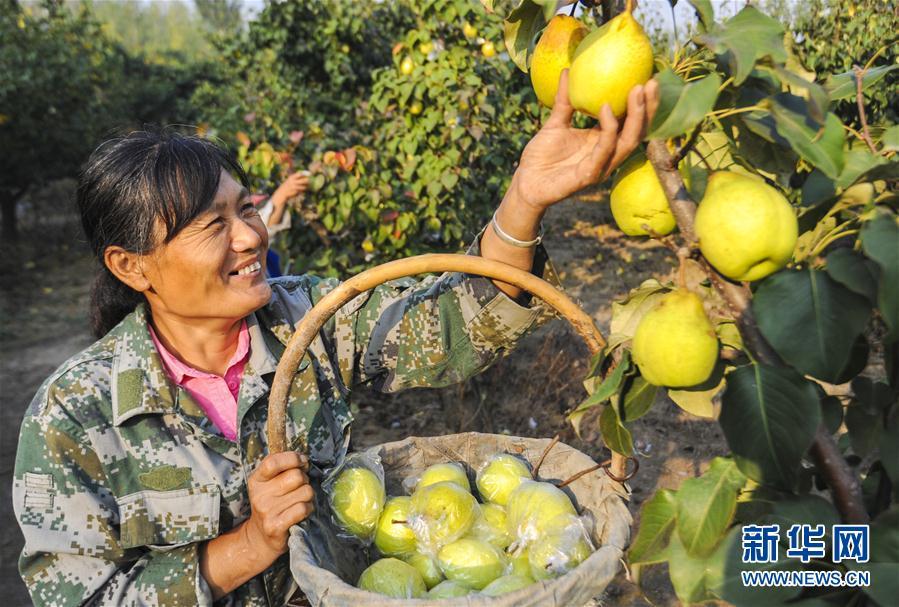 (经济)(3)河北永清:鸭梨飘香助农增收