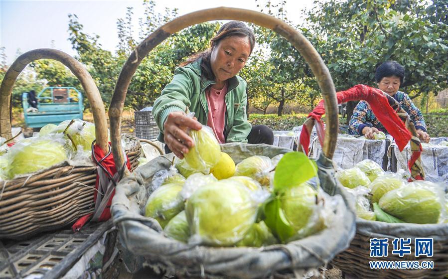 (经济)(4)河北永清:鸭梨飘香助农增收