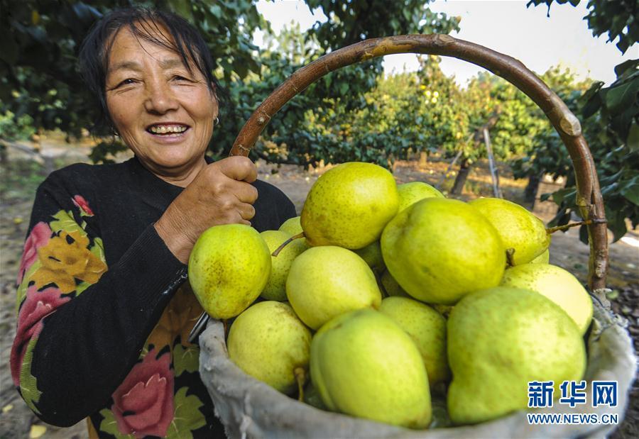 (经济)(5)河北永清:鸭梨飘香助农增收
