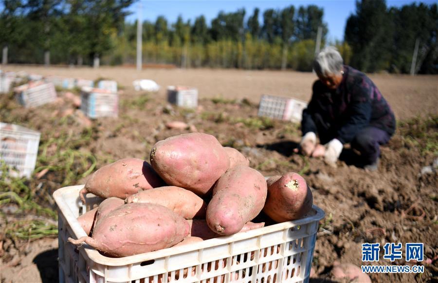 (經濟)(1)河北安次:沙地紅薯富農增收