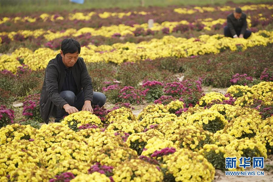 (社会)(3)河北威县:特色种植富农家