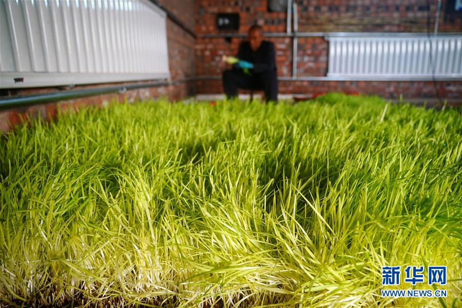 (經濟)(1)河北南宮:黃韭種植富農家
