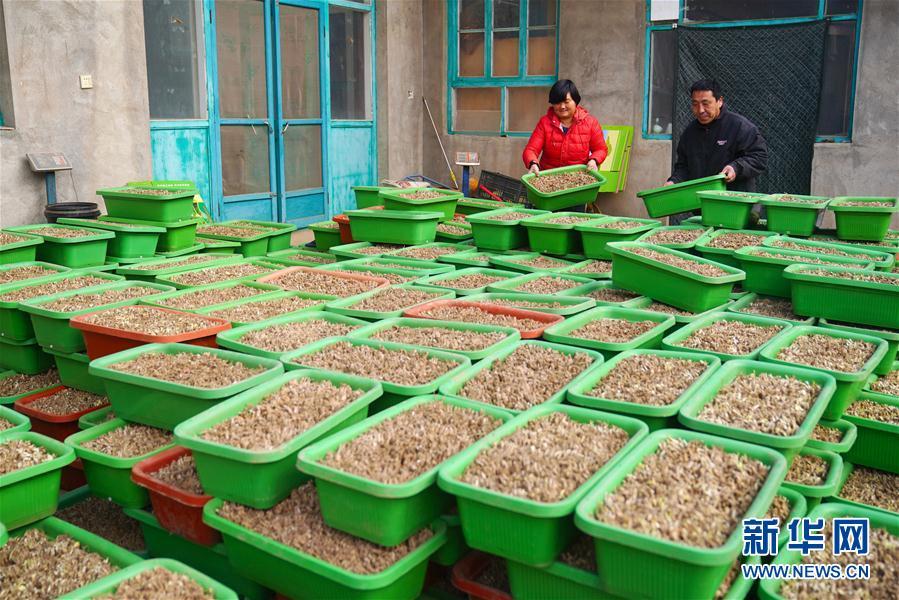 (經濟)(2)河北南宮:黃韭種植富農家