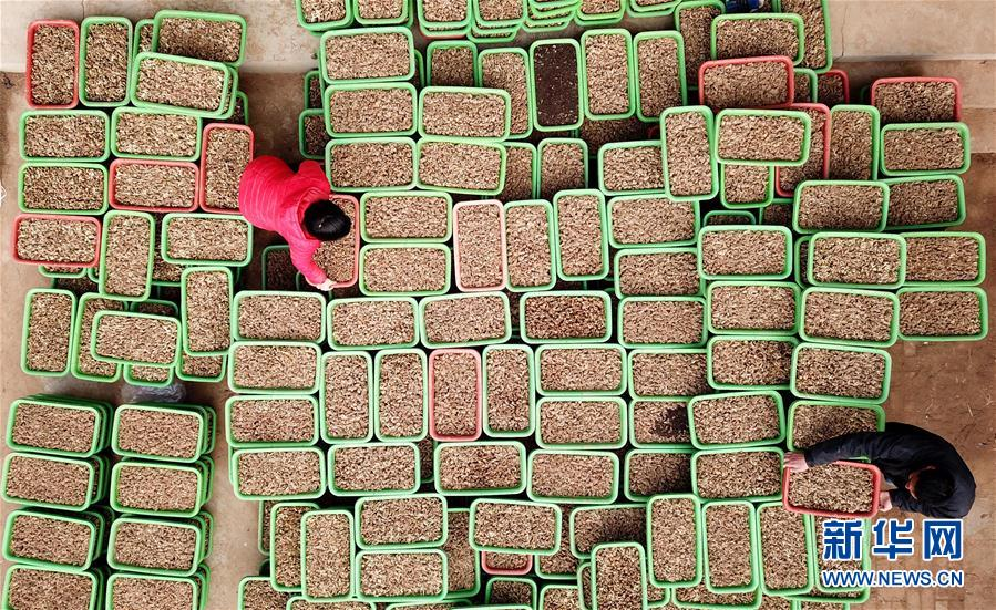 (經濟)(3)河北南宮:黃韭種植富農家