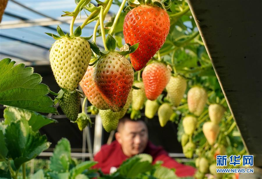 (经济)(3)河北昌黎:冬季草莓飘香