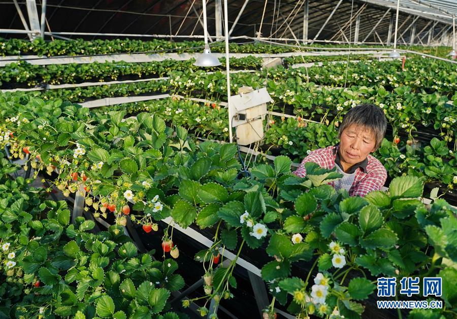 (经济)(2)河北昌黎:冬季草莓飘香