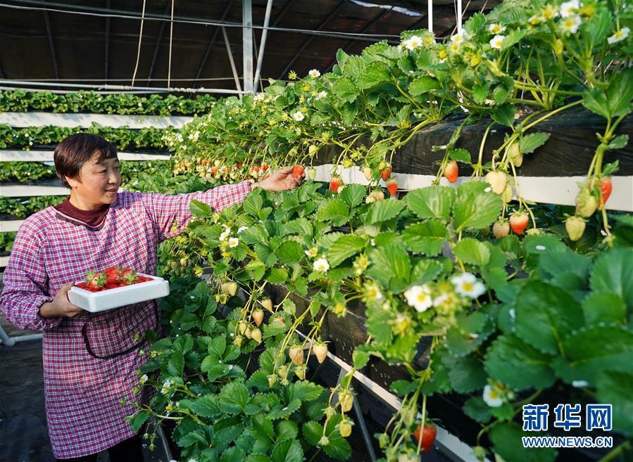 (经济)(1)河北昌黎:冬季草莓飘香