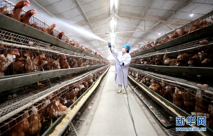 (經濟)(6)河北:穩定畜禽生産 保障産品供應