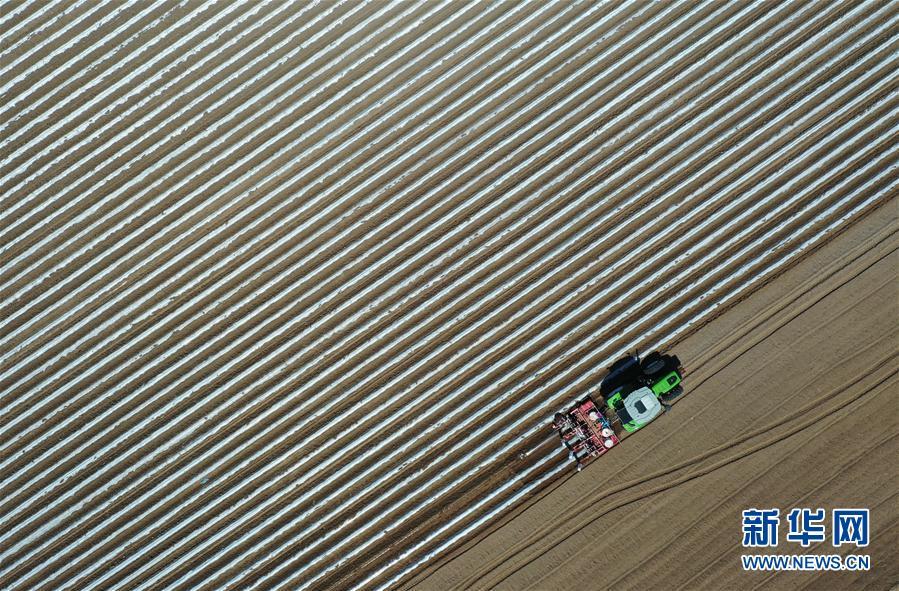 (經濟)(1)河北灤南:煙薯産業助增收