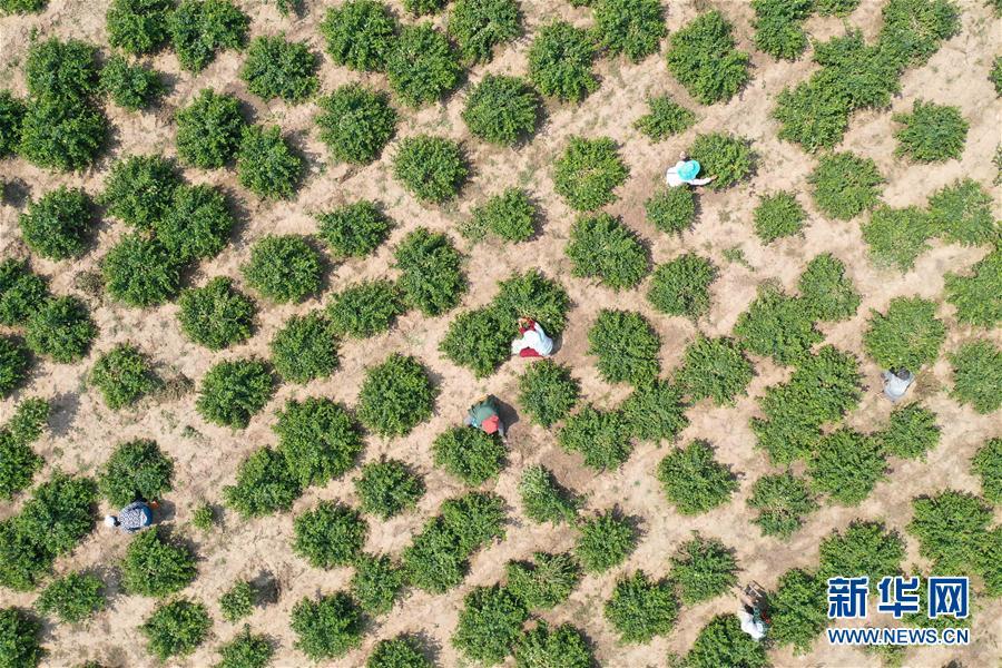 (經濟)(1)河北清河:金銀花種植助增收
