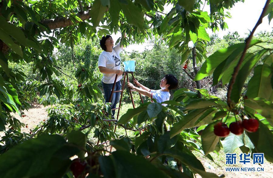 (經濟)(1)河北讚皇:櫻桃豐産 農戶增收