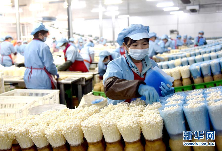 (經濟)(1)河北臨西:小菌菇托起大産業