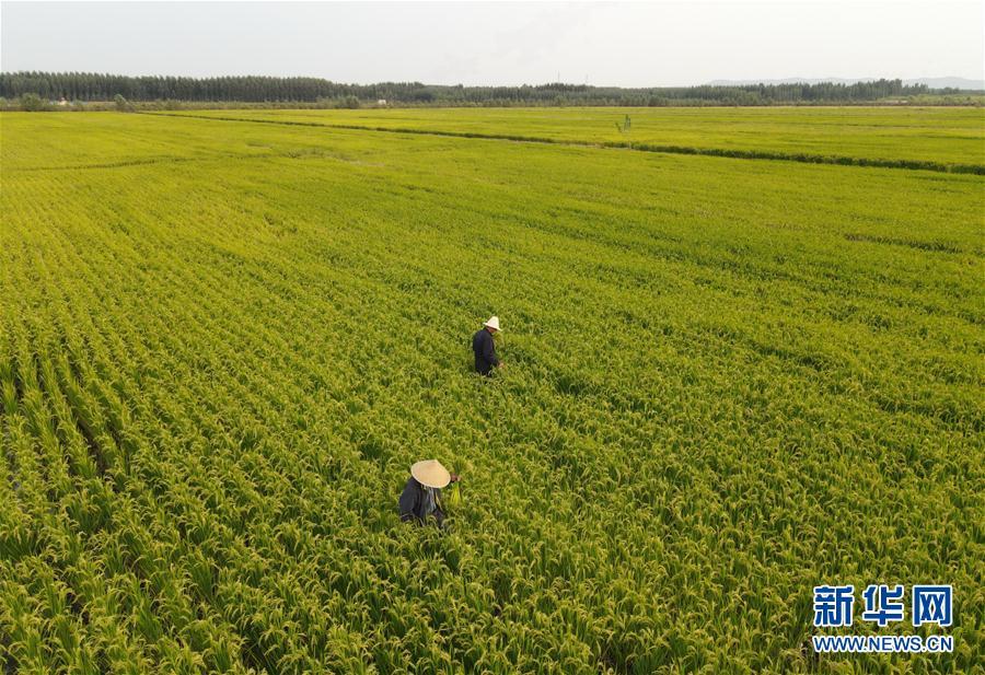 (經濟)(1)河北盧龍:稻蟹立體種養促增收