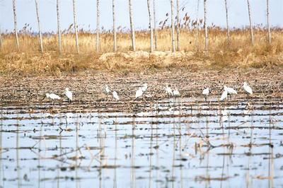白洋淀野生鸟种类数量多了