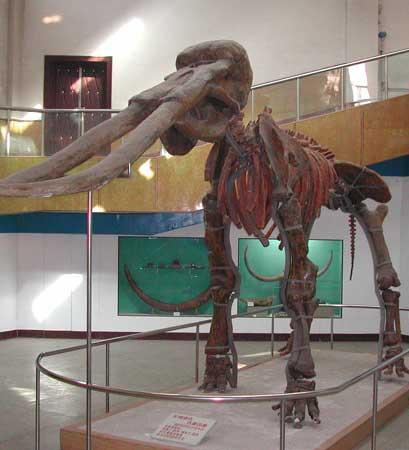 古菱齒象化石