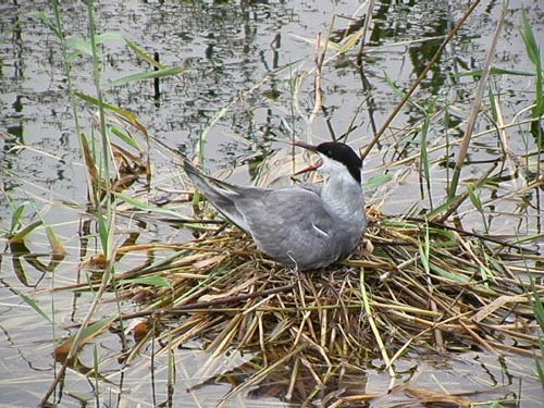 鳥鳴衡水湖