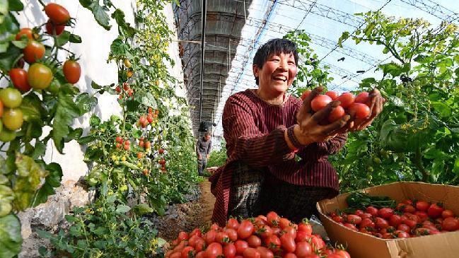河北唐山:果蔬种植丰富节日菜篮子