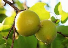 承德将建百个万亩以上山杏种植区