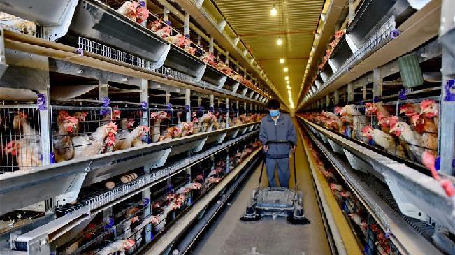 河北寧晉:無抗養雞促增收