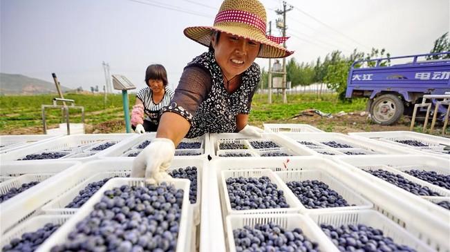 河北滦县:蓝莓迎来收获季