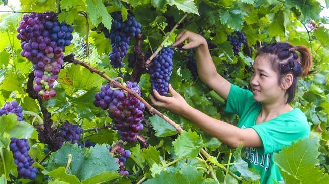 河北永清:葡萄豐收樂農家