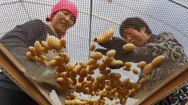河北張北:馬鈴薯産業化發展富農家