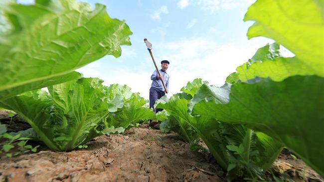 河北灤南:無公害果蔬産業促增收