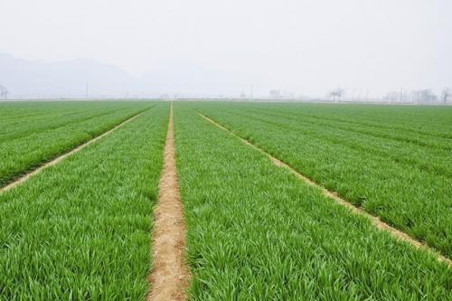 今年河北节水小麦品种供种面积超过2736万亩