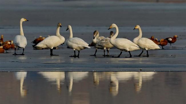 河北宣化:數九寒天洋河水庫天鵝舞