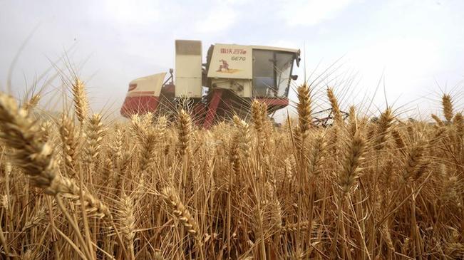 河北:小麥開鐮收獲