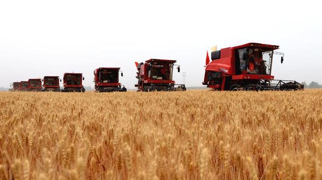 河北小麥開始大規模機收