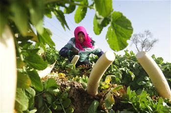 河北省黃驊市:蘿卜出口助農民增收