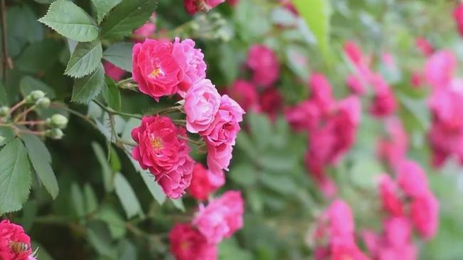 立夏:薔薇爬滿架 奮鬥趁年華