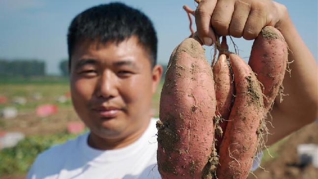 河北灤南:煙薯豐收