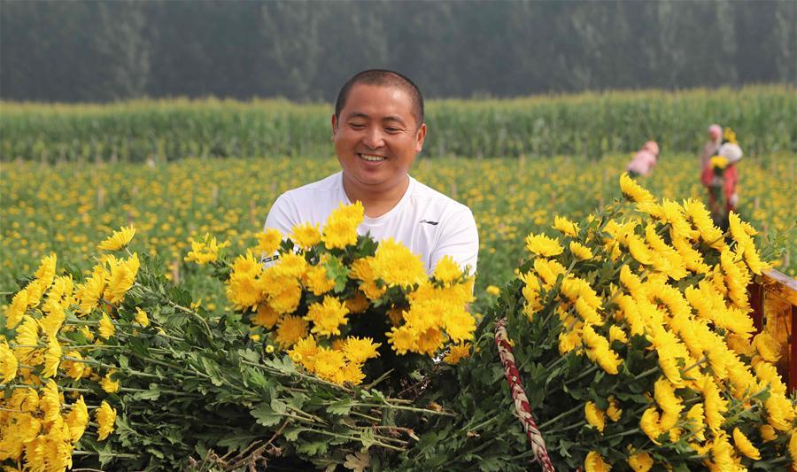 河北臨西:鮮切菊花俏市場