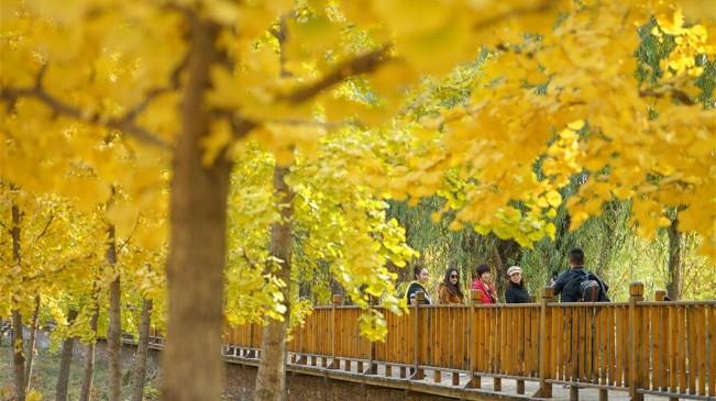 河北沙河:山鄉銀杏黃 太行秋景美