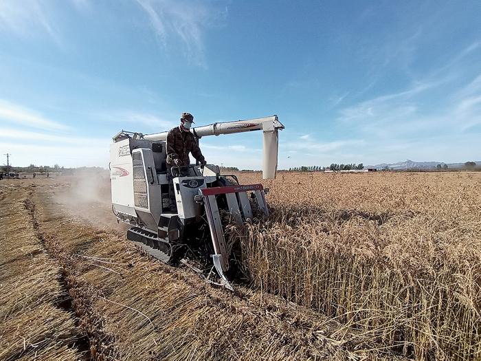 致富路上稻米飄香
