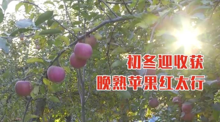 晚熟蘋果紅太行